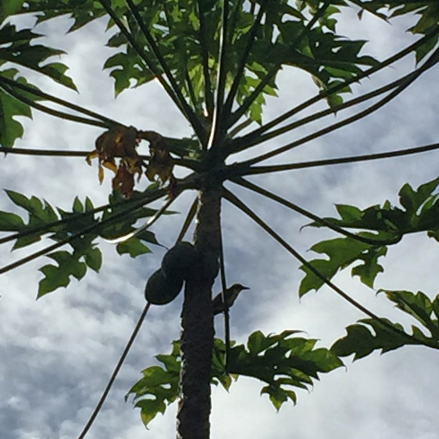 A Hoffman woodpecker sits in a papaya tree